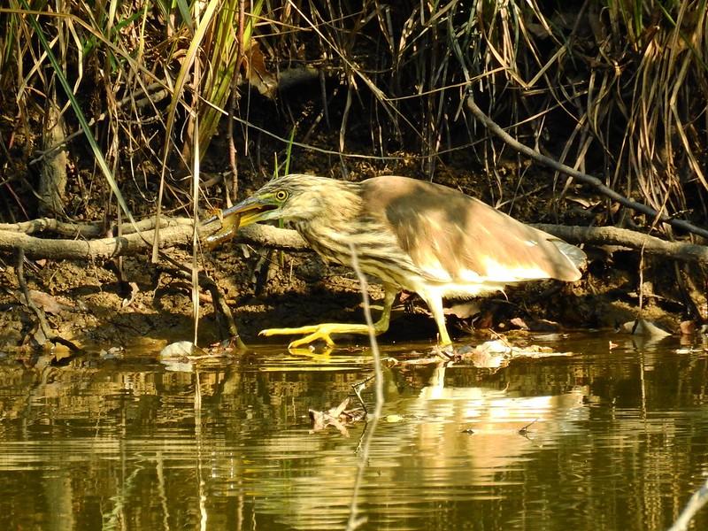 アカガシラサギ / Chinese pond heron