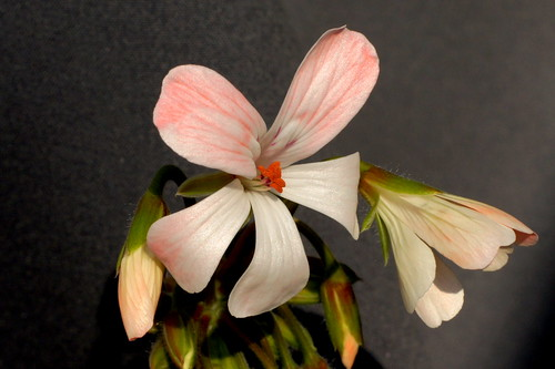 Pelargonium 'Martha', zonartic. First flower