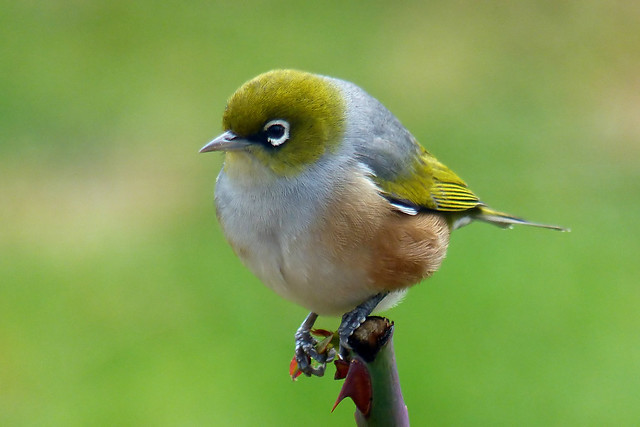 Silvereye or Waxeye.NZ