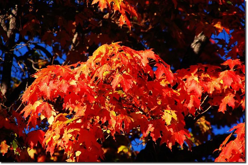 Sugar maple leaves (2)
