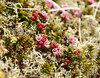 Kiska Tundra - Crowberry Blossoms