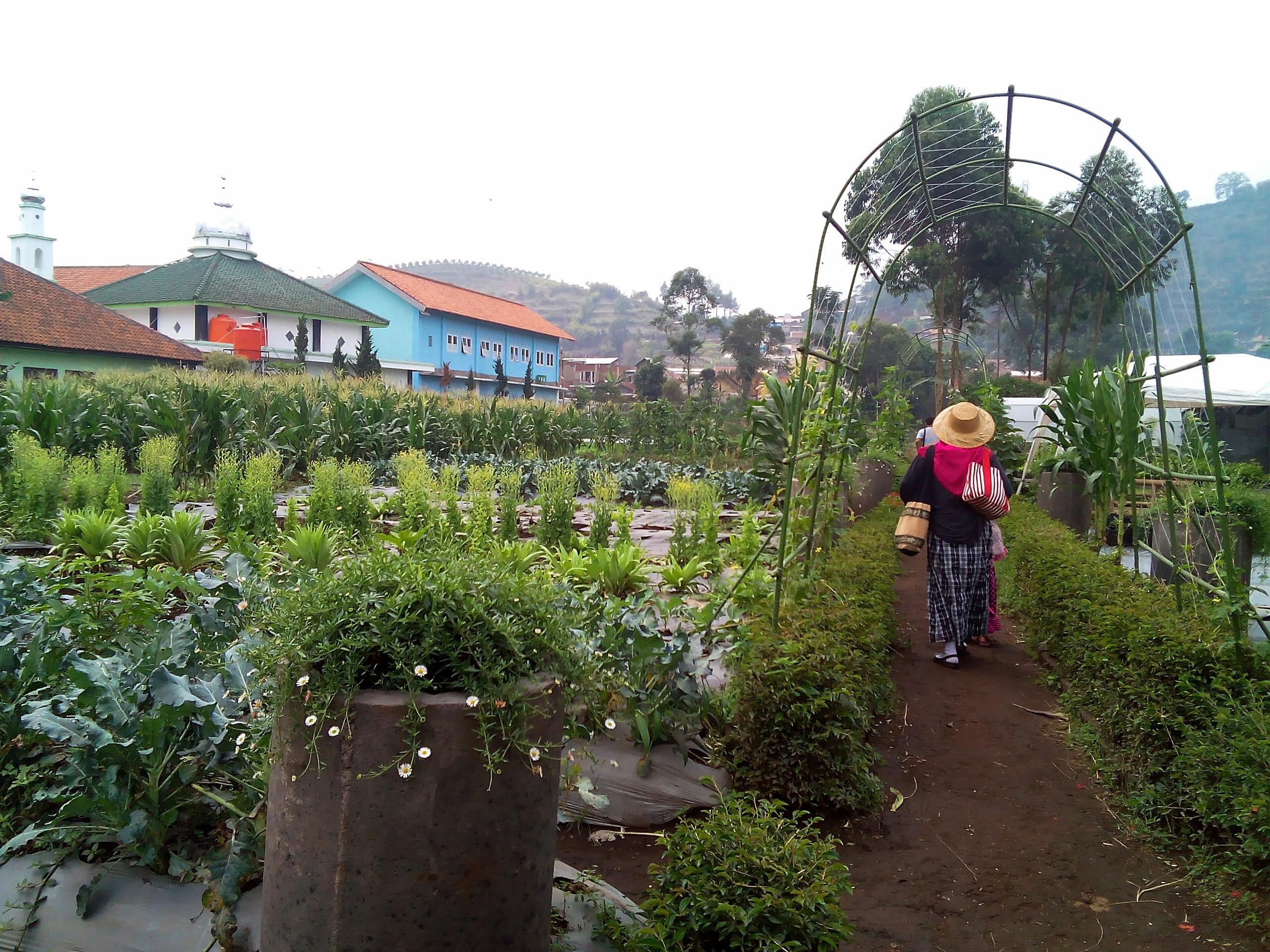 kebun-bunga-begonia-9