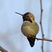 Anna's Hummingbird by Dunbar Gardens