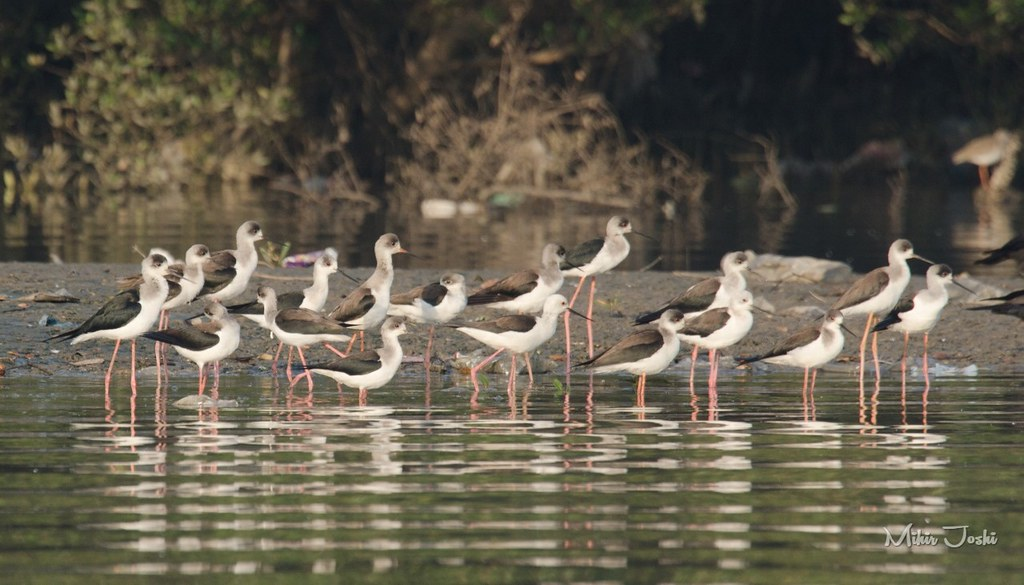 Black-winged Stilt [Tero Real]