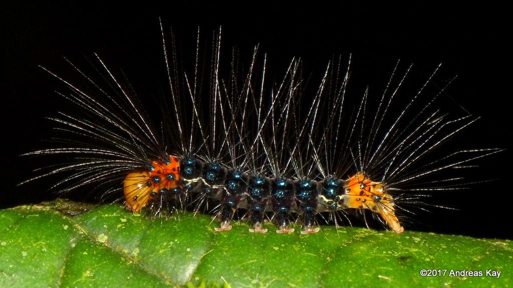 Caterpillar, Dysschema sp.? Erebidae