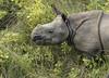 Panzernashorn Baby / Indian rhinoceros Baby