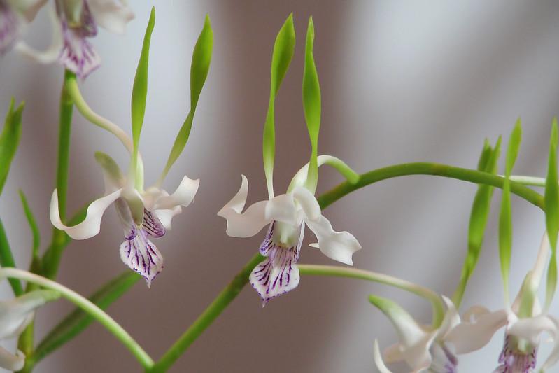 Dendrobium antennatum  デンドロビウム・アンテナタム