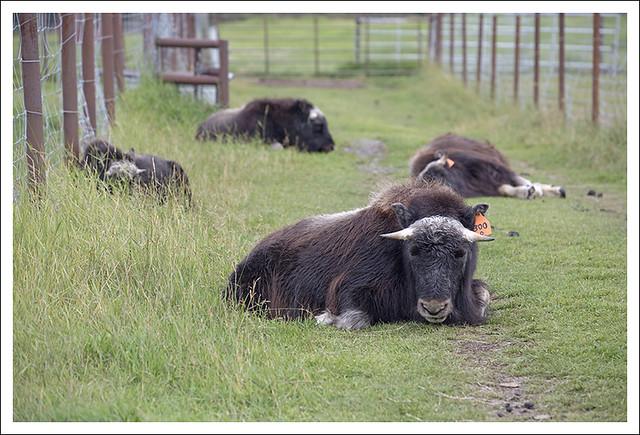 Palmer Musk Ox Farm 2