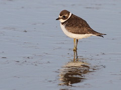 Plovers, Oystercatchers, Stilts, Killdeers and Avocets