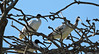 Ibis resting in the trees by Merrillie