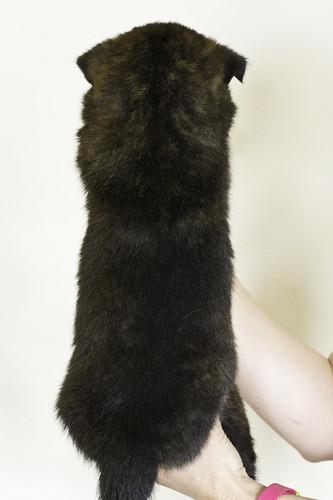 Nori-Litter3-Day33-Pup3(male)b