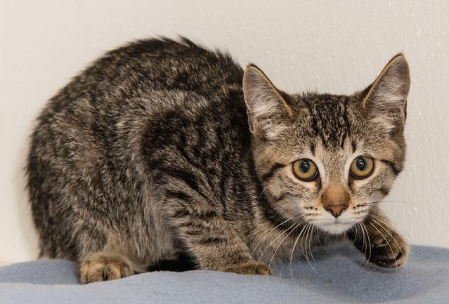 Kitten Atticus
