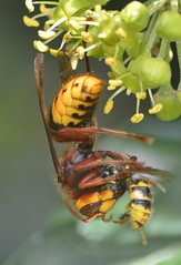 arthropod, animal, wasp, flower, yellow, invertebrate, macro photography, membrane-winged insect, fauna, close-up, hornet,