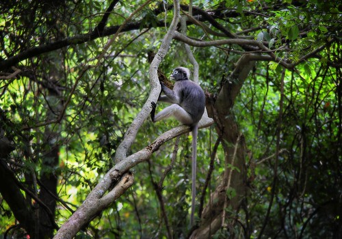 The sweetest Dusky Langur you could hope to meet