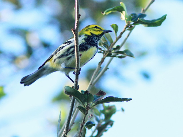 Black-throated Green Warbler 20151103