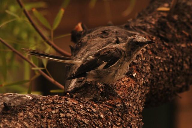 Frumpy Mockingbird