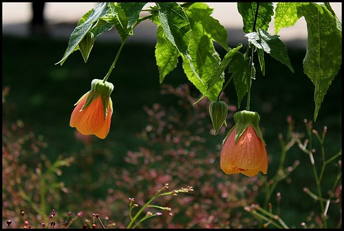 Abutilon pictum 'Thompsoni' 22546778905_5a111414ed