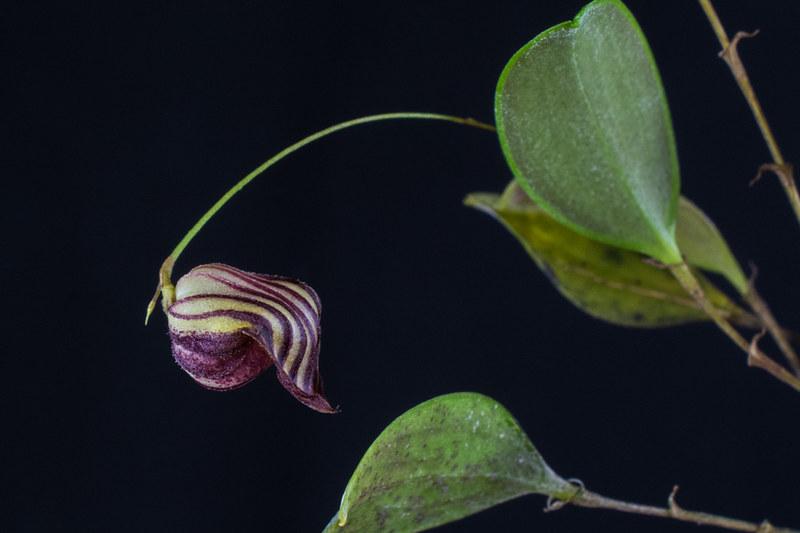 Miniatur-Orchideen 2. Teil - Seite 22 23247459460_5b5066b11e_c