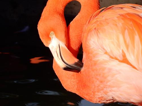 San Diego Zoo - flamingo
