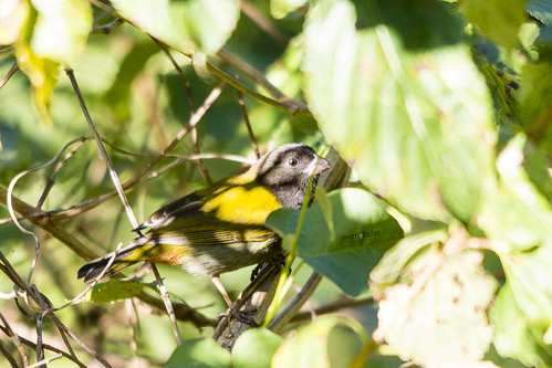 caribbean jamaica loxipasseranoxanthus nikond7100 sigma150500mmf563dgoshsm westmoreland yellowshoulderedgrassquit animal endemic nature wildlife