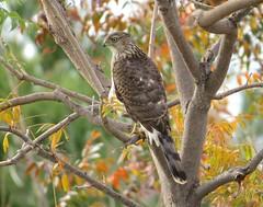 A hungry Cooper's Hawk