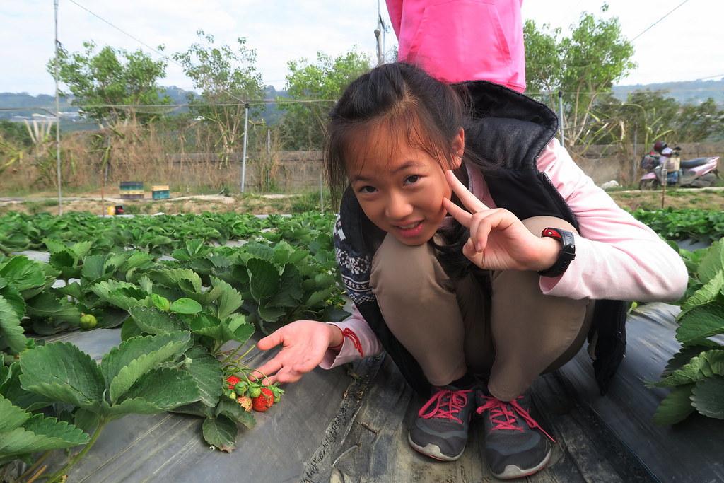阿蓮三本草莓園 (7)