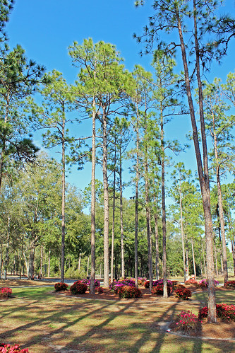landscape median trees pinetrees shrubs azaleas blooms flowers citrussprings florida