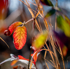 The leaf, as if ablaze - 2017-02-19_01
