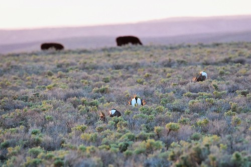 Sage-grouse on land
