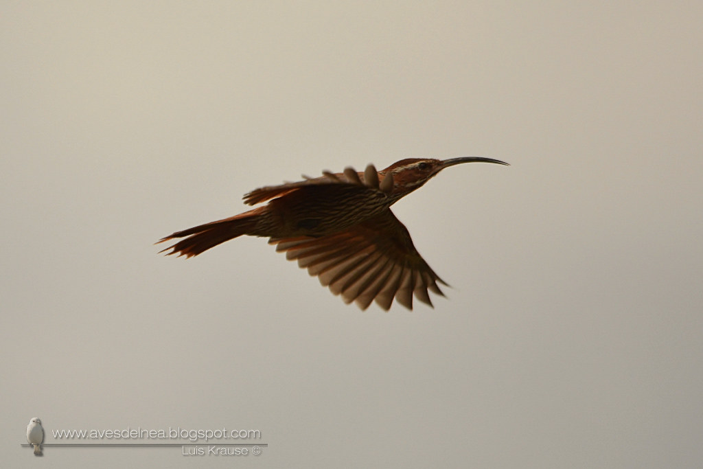 DSC_368Chinchero grande (Scimitar-billed Woodcreeper) Drymornis bridgesii6