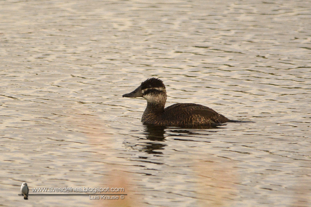 Pato zambullidor chico ( Lake Duck) Oxyura vittata