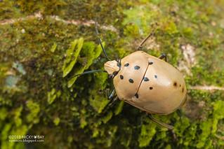 Shield-backed bug (Scutelleridae) - DSC_3346