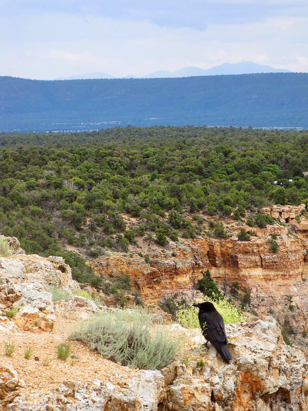 Black Bird at the Grand Canyon