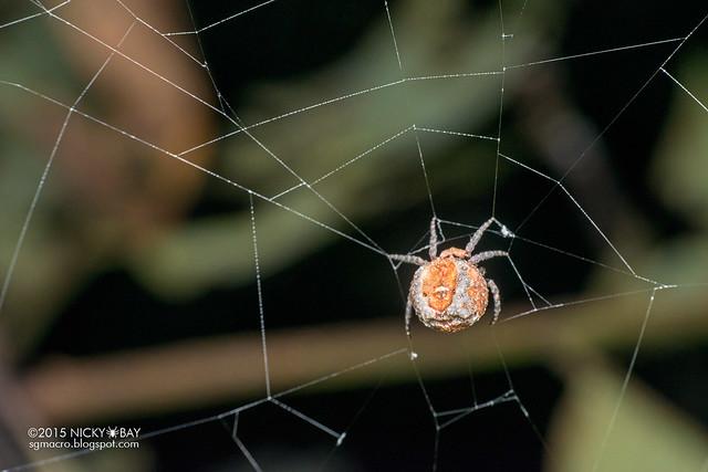 Roly poly orb weaver (Xylethrus scrupeus) - DSC_4446