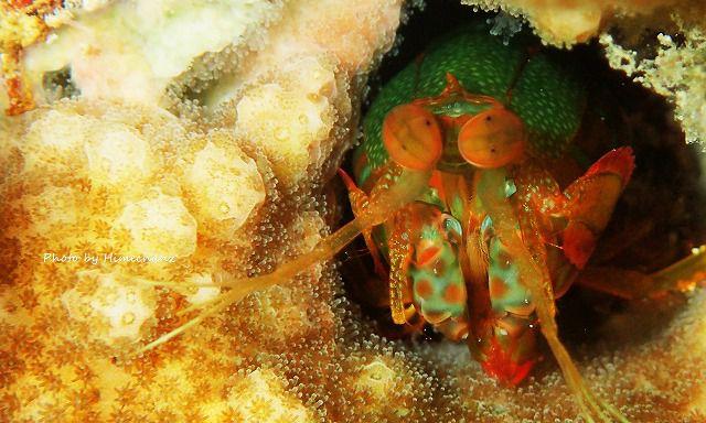サンゴの中に住み着いているシャコさん