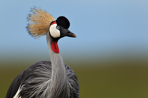 africa afrika bird crane crownedcrane eastafrica gamedrive greycrownedcrane kenya maasaimara maranorthconservancy narokcounty plains republicofkenya riftvalley safari savannah wildlife fh ig