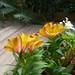 Alstroemeria 'Ariane' by tanetahi