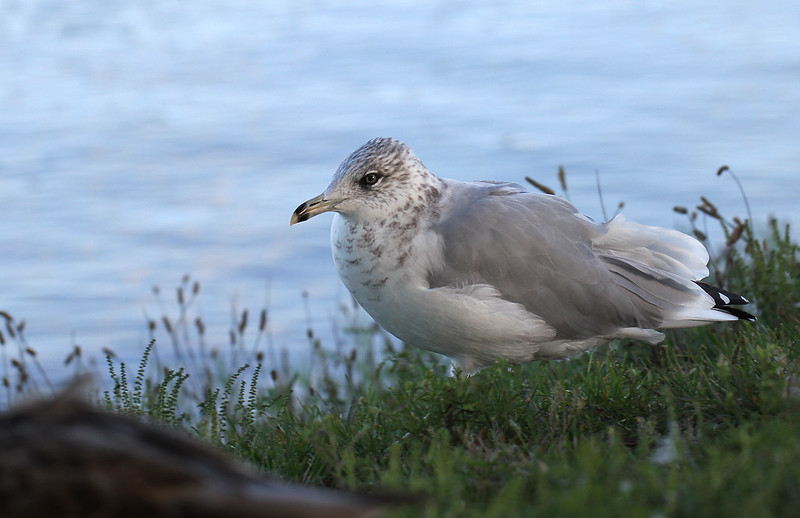 lovely gull