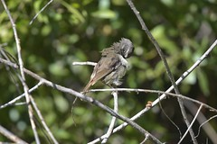 White - browed Scrubwen ( clean up after lunch )