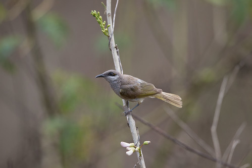 birds indonesia lewa sumba lichmeralimbata indonesianhoneyeater