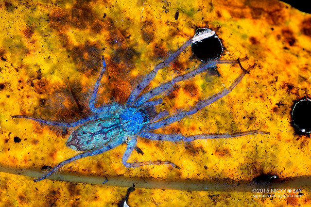 Huntsman spider (Pandercetes sp.) - DSC_9674b