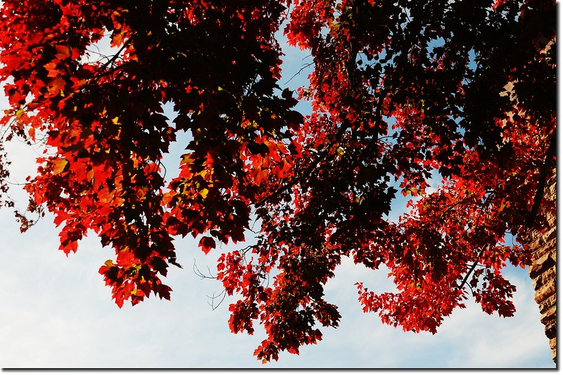 Red maple leaves 12