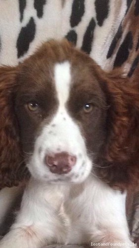 [Reunited] Thu, Dec 17th, 2015 Lost Female Dog - Islandeady, Newport Road, Castlebar, Mayo