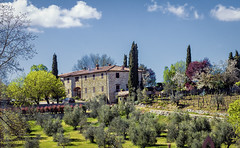Olive Trees and Winery, Poggio Amorally, Chianti