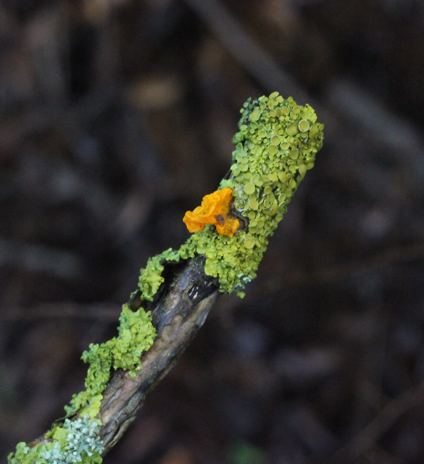 Yellow Brain fungus on lichen near Luddesdown