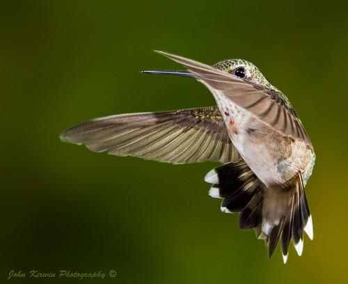 HummingBird-10
