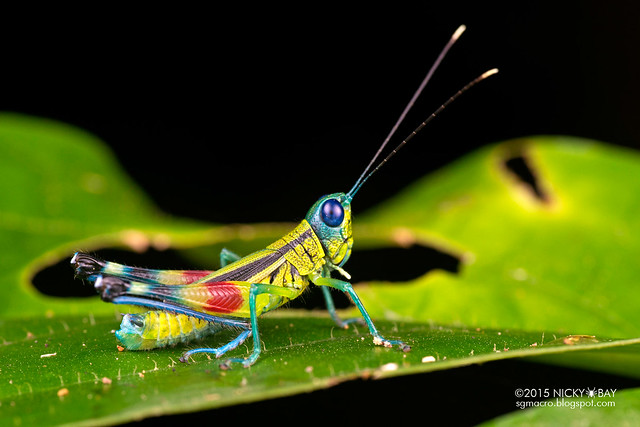 Grasshopper (Caelifera) - DSC_1164