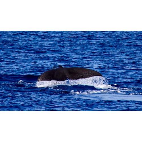 Пол дня на яхте за ним гонялись - и это того стоило! #whales #Azores #SunMigel #yachtschool #sailing #sailingschool #yacht #yachting #яхтдрим #яхтинг #яхтклуб #yachtlife #яхты #sailingboat