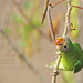 Plum-headed Parakeet ( Juvenile) by Anuj Nair
