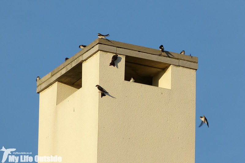 P1150418 - House Martins, Machynys